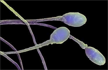 Открыт способ воздействия сперматозоидов на гены