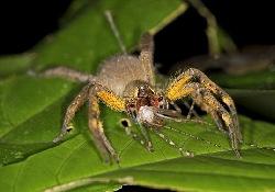 Для решения мужских проблем пригодится яд паука-убийцы