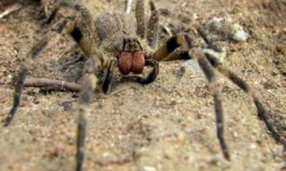 Ученые предложили виагру заменить ядом бразильских странствующих пауков