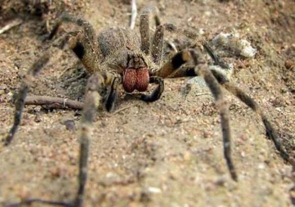 Яд бразильских пауков заменит виагру