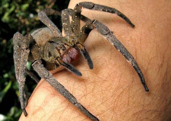 Яд паука как альтернатива виагре
