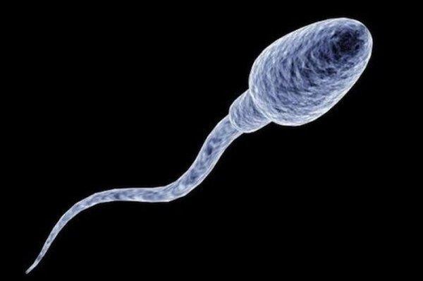 Французские ученые вырастили человеческие сперматозоиды in vitro