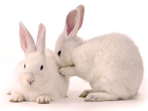 Негормональный мужской контрацептив успешно испытан на кроликах