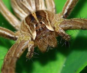 В борьбу с импотенцией вступает яд пауков