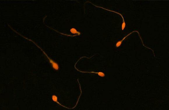 Сперматозоиды научили доставлять лекарства