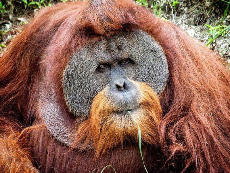 Ученые из Австралии: длинная борода у самцов компенсирует небольшие яички
