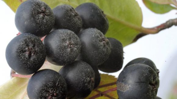 Повысить потенцию поможет доступная ягода