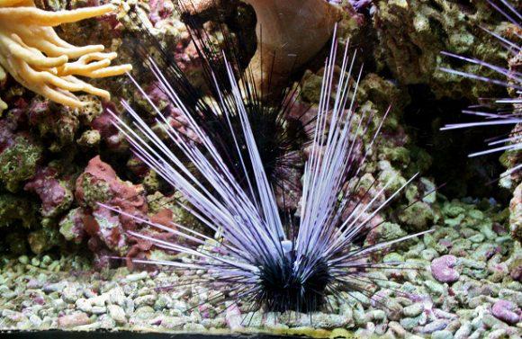 Пигмент морских ежей поможет лечить рак простаты